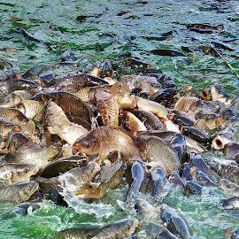 Fighting for food by Arijit Dutta - Animals Fish ( fight, rewalsar, fish, india, mandi )