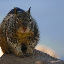 Serious Squirrel by Barbara Brock - Animals Other Mammals ( woodland animal, eye contact, chipmunk, squirrel )