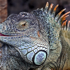 Smile by Leif Holmberg - Animals Reptiles ( reptails, lizard, loro park, tenerife, spain, animal )