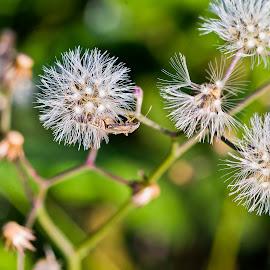 White by Mursalat Mustaring - Novices Only Flowers & Plants ( sorowako, macros, macro, flower, photooftheday,  )