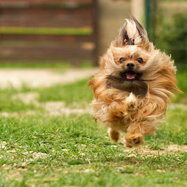 Happy running dog by Andreea Antohe - Animals - Dogs Running ( happy, furry, puppy, dog, running, smiling )