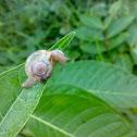 An Unknown Snail ( एक अज्ञात घोंघा )