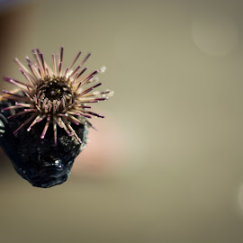 Sea Urchin by Brandi Davis - Animals Sea Creatures ( water, sea, ocean, sea urchin, beach, animal )