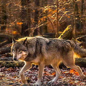 wolftamronpixotouse.jpg