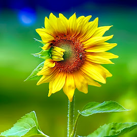The Sunflower by Rubens Campos - Flowers Flower Gardens ( jardim, sunflower, amarelo, girassol )