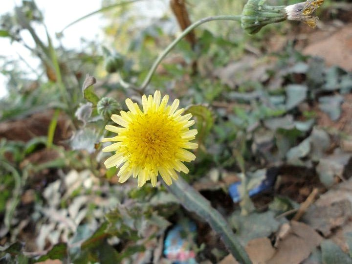 common sowthistle