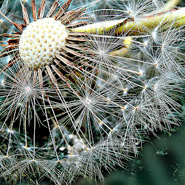 They Are Waiting Breeze by Marija Jilek - Nature Up Close Other plants ( breeze, dandelion, nature, plants, seeds, stem, head )