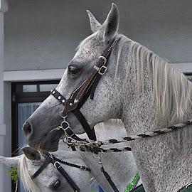 Parade horse by Marsha Lewis - Animals Horses
