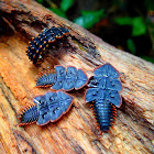 Trilobite Beetles