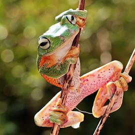 by Hernawan Safari - Animals Amphibians