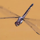 Slaty Skimmer dragonfly (female, oviposition, in flight)