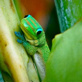 Gecko by David Herholz - Animals Amphibians ( lizard, gecko, hawaii, animal )