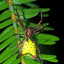 Arrowshaped Micrathena