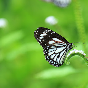 kupu-kupu by Firmansyah Goma - Animals Insects & Spiders ( butterfly, kupu, green, , animal, butterfy )
