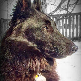 Belgian Sheepdog by Cecilia Sterling - Animals - Dogs Portraits