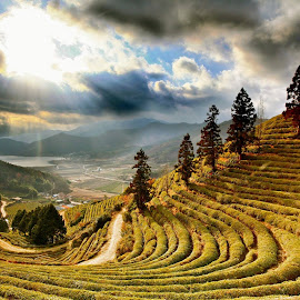 Boseong tea plantation by Simon Bond - Landscapes Mountains & Hills