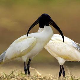 by Mukesh Chand Garg - Animals Birds