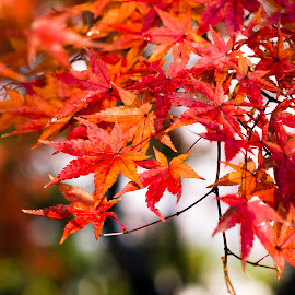 Autumn leaves by Masaki Yamamoto - Nature Up Close Leaves & Grasses ( plant, fukui prefecture, autumn leaves, maple, december, red, japan, echizen city, season, autumn, no people, outdoor, closeup, fall, color, colorful, nature,  )