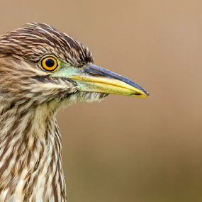 Black Crowned Night Heron by Herb Houghton - Animals Birds ( herbhoughton.com )