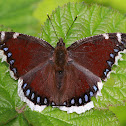 Trauermantel or Mourning Cloak