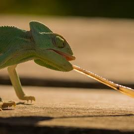 Yemen Chameleon by Kutub Macro-man - Animals Reptiles ( nature, wildlife, yemen, chameleon, close-up, animal,  )