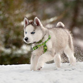 A Whole New World by Kelly Alholinna - Animals - Dogs Puppies ( playing, winter, snow, husky, puppy,  )