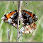 Pearl Crescent Butterflies (mating)
