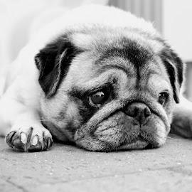 by Barbara Pobjoy - Animals - Dogs Portraits