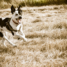 by Brandi Scoggins - Animals - Dogs Running (  )