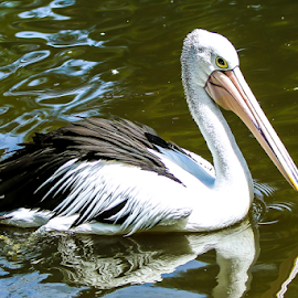Pelican by Nancy Merolle - Animals Birds ( bird, fly, pelican, water bird, animal )