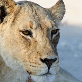 Lioness by Charel Schreuder - Animals Lions, Tigers & Big Cats ( lion, photo sales, lioness, south africa, nossob, googlephotographer, kgalagadi transfrontier park, landscapes, kalahari, charel schreuder )