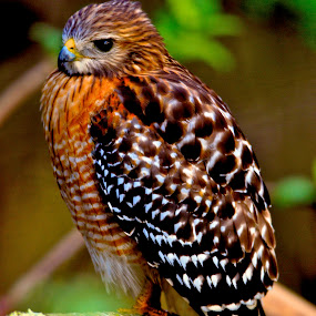 Red Shoulder by Chris Wilson - Animals Birds ( nature, trees, everglades, wildlife, red shouldered hawk, birds )
