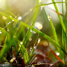 dew on grass by 思远 郭 - Nature Up Close Leaves & Grasses ( grass, green, dew, sunlight, sun )