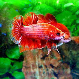 betta by Wan Azizul Azar Aziz - Animals Fish