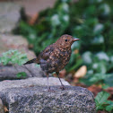 Common Blackbird juvenile