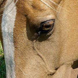 Palomino Head by Barbara Brock - Animals Horses ( horse's eye, horse head, palomino head,  )