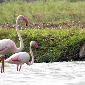 Flem_1 by Rahul Savaliya - Animals Birds ( water, bird, flemingo, new, nature, color, rajkot, pink, latest, animal )