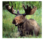 Moose Call icon