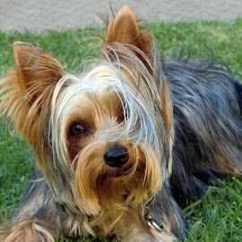 by John Cope - Animals - Dogs Portraits ( animals, dogs, yorkie, yorkshire terrier, doggies, dog portrait, pooch )