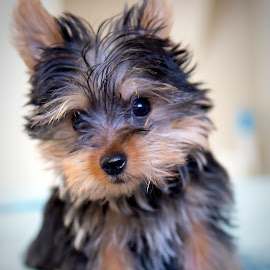 by Marcus Huser - Animals - Dogs Puppies