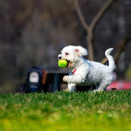 -Hai Simona! by Constantinescu Adrian Radu - Animals - Dogs Playing ( park, tennis, dog )