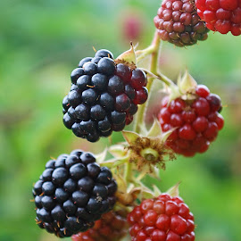 Blackberry by Maja  Marjanovic - Nature Up Close Gardens & Produce ( blackberry, nature, gardens,  )