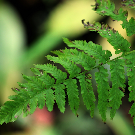 by Dipali S - Nature Up Close Leaves & Grasses ( plant, photograph, symbol, botany, green, fragility, forest, temperate rainforest, peace symbol, leaf, rainforest, photography, fern, spores, environment, simplicity, color image, focus on foreground, pattern, nature, foliage, horizontal, insignia, sparse )