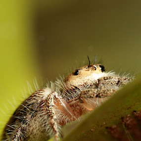 The Spider 2 by Azman Saad - Animals Insects & Spiders ( canon, nature, macro photography, spider, close up )