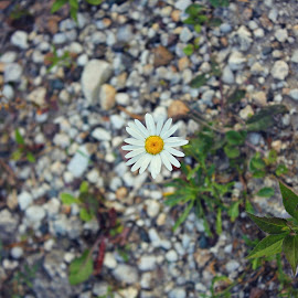 Daisy by Sharon Ruggiero - Nature Up Close Other plants ( pathway, trail, summer, daisy, stones, flower,  )