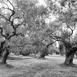 Olive Trees by Cosmin Lita - Nature Up Close Trees & Bushes ( black and white, greece, trees, landscape, olive )