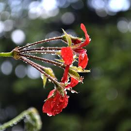 rain by Iulian Cahul - Nature Up Close Gardens & Produce ( red, drops of rain, green, d3100, drops, flowers, nikon, garden, bokeh, rain,  )