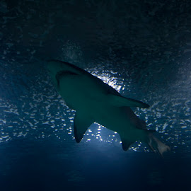 shark by Davide Sabatini - Animals Sea Creatures ( sub, sea, shark, abisso )
