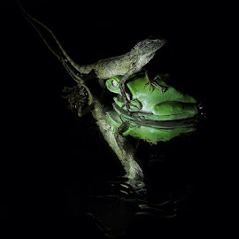 Little Huge by Thomas Wiwiek Widyarsono - Animals Amphibians ( lizard, frog, amphibi, reptile )