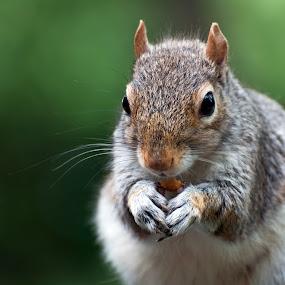 Grey Squirrel  by Jude Stewart - Animals Other Mammals ( up close, wildlife, squirrel,  )